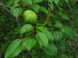 DSCN6378_Poison Apple.JPG