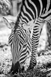 Zebra #5