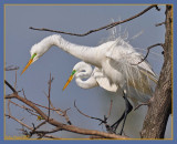 Great Egret sparking the ladies