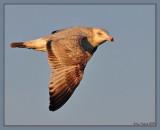 Unknown gull. Immature ring billed gull?