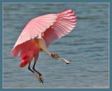 Roseata Spoonbill landing