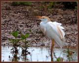 wind blown cattle egret