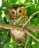 red phase eastern screech owl (roosting with the gray)