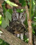 grey phase eastern screech owl