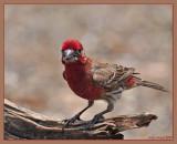Male house finch (Pedernales falls SP)