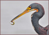 Tricolored heron with a snack