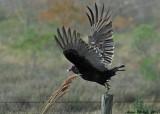 brazoria buzzard