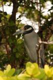 Bihoreau violacée (Yellow-crowned Night Heron)
