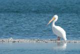 Pélican blanc (White pelican)