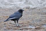 Corneille d'Amérique (American crow)