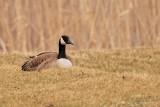 Bernache du Canada (Canada goose)