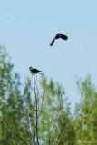 Crécerelle et carouge (Kestrel and Blackbird)