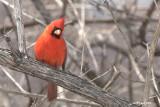 Famille Cardinalidae-Cardinal et Passerin