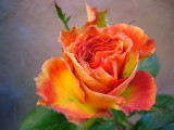 ROSE queensday