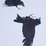 Common Ravens  (Corvus Corax)