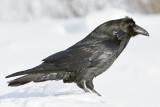 Chuffed Raven