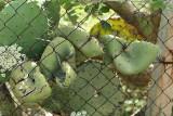 Cactus opportuniste sur l'île de Vulcano, archipel des îles Eoliennes
