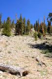 Bristlecone Pine Schulman Grove
