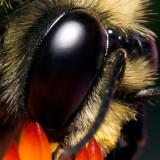 Bee on coneflower 4968 100% crop (V70)