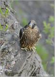 Peregrine Falcon perched 70