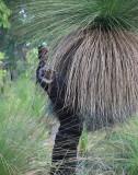 Giant Black Boy Grass Tree - Xanthorrhoea Australis