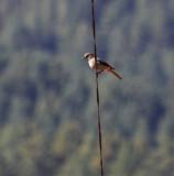 Hodgson's Redstart (female)