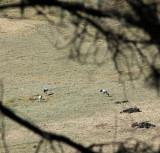 Black-necked Cranes
