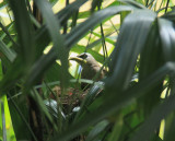 Yellow-vented Bulbul feeding chicks