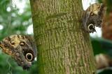 Owl Butterflies, Butterfly Conservatory, Niagara Falls, Canada