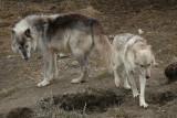 Wolves, Orono, Ontario