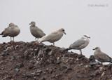 Iceland Gull - Juvenile