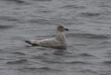 Likely Kumlien's Gull (originally labeled as Thayer's Gull)