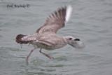 Herring Gull - white P10