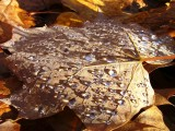 Early Morning Sugar Maple