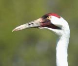 Field Ornithology trip 2008 - Horicon, Baraboo, Necedah