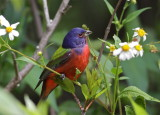 painted bunting, everglades