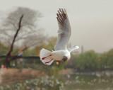 Gull in Cui Hu Garden Lake Kunming China 2010