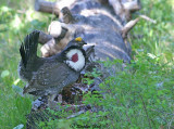 Blue Grouse - Male in courtship display