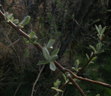 Russian Olive--New Leaves