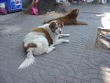 Bangkok stray dogs