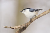 white-breasted nuthatch 021310_MG_3402