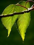 backlit cherry leaves