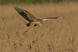 Herons - Reigers