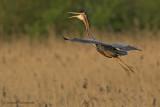 Purple heron - Purperreiger