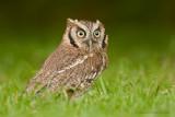 Scops Owl - Dwergooruil