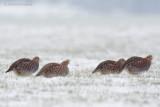 Gray Partridge - Patrijs