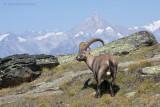 Ibex - Steenbok