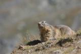 Alpine marmot - Alpenmarmot