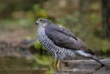 Sparrowhawk - Sperwer
