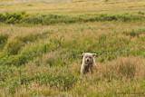 Brown bear cub - Bruine beer cub